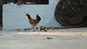 Hen walking with her chickens at the backyard in Hampi.