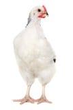Hen on white background Royalty Free Stock Photos