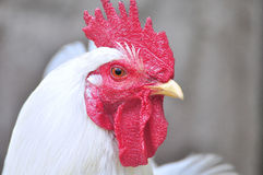 Hen Royalty Free Stock Photos
