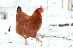Hen in winter Stock Photo