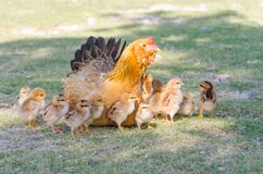 Free Hen With Chicks On Grass Stock Images - 185048574