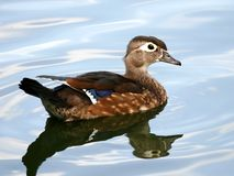 Hen Wood Duck Waterfowl. Swimming royalty free stock photos