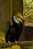 Hen Wreathed hornbill female in the zoo. Hen Wreathed hornbill female with a blue tail body, white tail, white in the zoo Stock Images