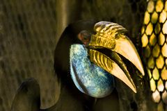 Hen Wreathed hornbill female in the zoo. Hen Wreathed hornbill female with a blue tail body, white tail, white in the zoo Stock Image
