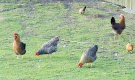 Hen in yard Stock Photos