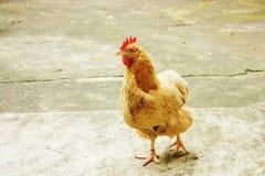 Hen. The yard walk hen capture Stock Photo