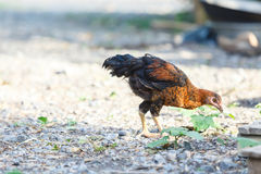 Hen. Young Hen`s finding food at ground,Free life pet in the country Stock Photo