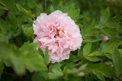 Henan, China, Luoyang, the famous tourist attraction. It is blooming peony flowers. A variety of colors, variety, very beautiful. Peony is the national flower Royalty Free Stock Photos