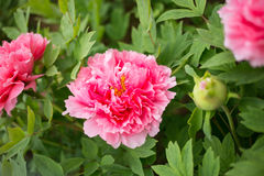 Henan, China, Luoyang, the famous tourist attraction. It is blooming peony flowers. A variety of colors, variety, very beautiful. Peony is the national flower Stock Photo