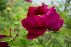 Henan, China, Luoyang, the famous tourist attraction. It is blooming peony flowers. A variety of colors, variety, very beautiful. Peony is the national flower Stock Images