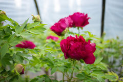 Henan, China, Luoyang, the famous tourist attraction. It is blooming peony flowers. A variety of colors, variety, very beautiful. Peony is the national flower Royalty Free Stock Photo