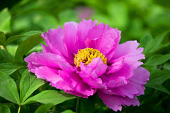 Henan Province, Luoyang peony in full bloom Royalty Free Stock Photography