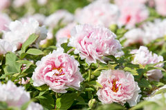 Henan Province, Luoyang peony in full bloom Royalty Free Stock Image