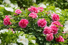 Henan Province, Luoyang peony in full bloom Stock Images