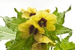 Henbane preto, planta medieval da medicina Fotos de Stock Royalty Free