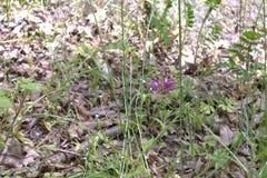 Henbit repéré dans l'herbe grande Image stock