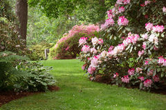 Hendricks Park. Sunlight highlights rhododendrons on a shady lawn at this beautiful 80 acre park filled with native plants in Eugene Oregon Stock Photos
