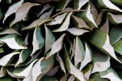 Henequen roślina Obrazy Stock