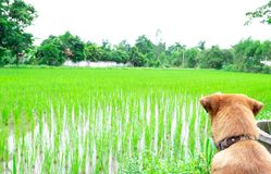 Heng dog is waiting field stock image