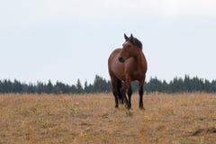 Hengst der Bucht wildes Pferdeauf Sykes-Kante in der Pryor-Gebirgswildes Pferdestrecke in Montana USA Lizenzfreies Stockfoto