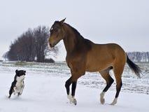 Hengst pAkhal-Teke het spelen met een hond royalty-vrije stock afbeelding