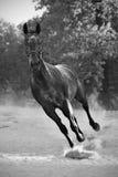 Hengst in stof Royalty-vrije Stock Fotografie