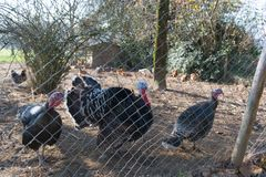 Henhouse z indykami i kurczakami zdjęcie royalty free