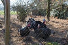 Henhouse z indykami i kurczakami obraz royalty free