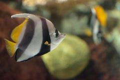 Heniochus acuminatus di pesce angelo dello stendardo Fotografia Stock Libera da Diritti