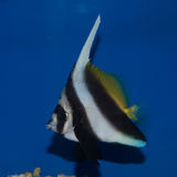 Heniochus Black & White Butterflyfish. The Heniochus Black & White Butterflyfish, also known as Longfin Bannerfish, has a very elongated white dorsal filament royalty free stock photo