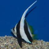 Heniochus Black & White Butterflyfish. The Heniochus Black & White Butterflyfish, also known as Longfin Bannerfish, has a very elongated white dorsal filament stock images