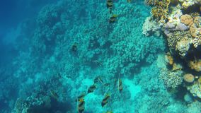 A Heniochus fish. Underwater view of a Heniochus fish in the red sea stock footage