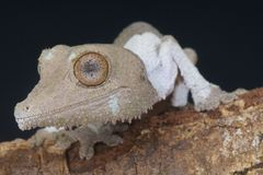 Henkel's leaf-tailed gecko / Uroplatus henkeli Royalty Free Stock Image