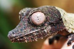 Henkels gecko för bladsvans Royaltyfri Foto