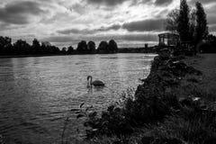 Henley Riverside con il cigno, vista verso la torre di chiesa immagini stock