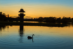 Henly Lake Dawn. Lookout tower at Henly lake, Masterton , New Zealand at dawn, with a black swan in front Royalty Free Stock Photo