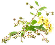 Henna φύλλα με τα φρούτα & το λουλούδι στοκ εικόνες με δικαίωμα ελεύθερης χρήσης