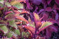 Henna coleus ornamental foliage Royalty Free Stock Photography