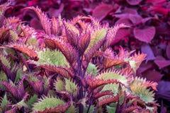 Henna coleus ornamental foliage Stock Image