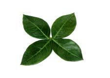 Henna Leaves photos libres de droits