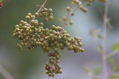 Hennastrauch Lawsonia-inermis, Samen in der Anlage Lizenzfreie Stockfotografie