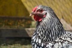 Henne, die auf den Hof geht Junges Huhn-standig allein auf Scheunenyard mit dem Hühnerstall Lizenzfreie Stockfotos