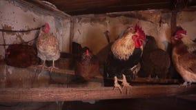 Henne, die auf einer Stange sitzt korb Bauernhof stock footage