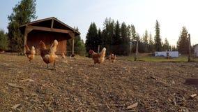 Henne, die im Bauernhof 4k weiden lässt stock video