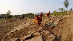 Henne, die im Bauernhof 4k weiden lässt stock video footage