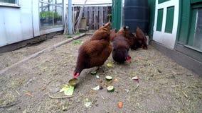 Henne, die im Hühnerstall 4k weiden lässt stock footage
