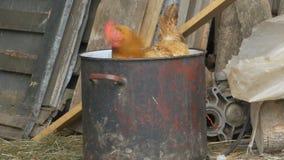 Henne in einem Topf am Bauernhof stock video
