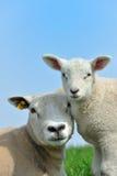 henne fjäder för lambmoderfår Arkivfoton
