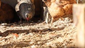 Henne im Hühnerstall stock video