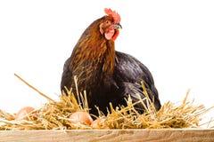 Henne im Heu mit den Eiern lokalisiert auf Weiß lizenzfreie stockfotos